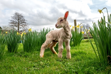 Day-old lamb exploring - Sheep, Lamb, Day old, England