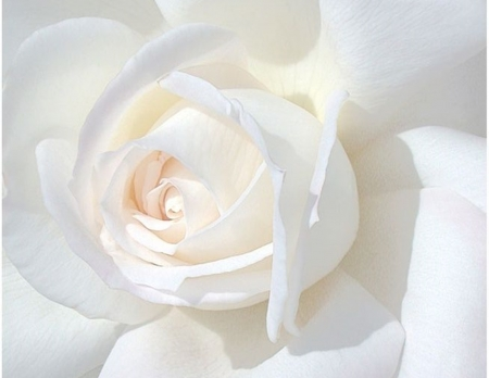 White Rose Flowers Nature Background Wallpapers On Desktop Nexus