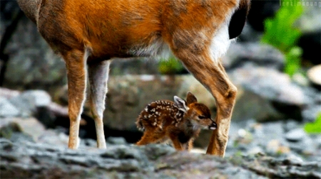 Fawn And Doe In Water - Water, Doe, Fawn, Rocks