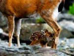 Fawn And Doe In Water