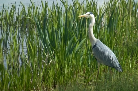 great blue heron - water, grass, bird, heron