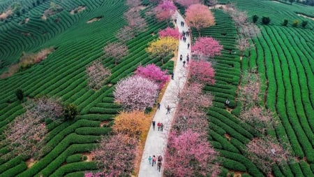 China - Spring colors - colorful, view from the top, tree, green, people, spring, pink, road, china