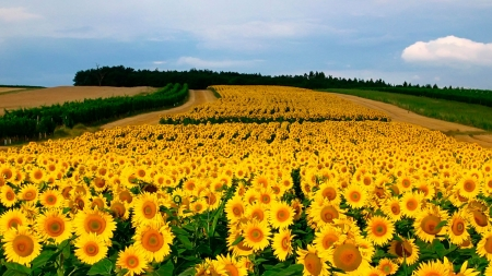 To Far For the Eyes to See - yellow, nature, fields, sunflowers, farms