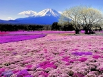 Lavender Flowers Japan