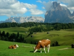 Scenic View of Cows Grazing