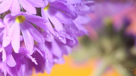Dew on Wild Flowers - blossoms, flowers, garden, lavender, rain, blooms, dew drops, floral, Firefox theme
