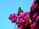 Tiger Swallowtail And Bougainvillea