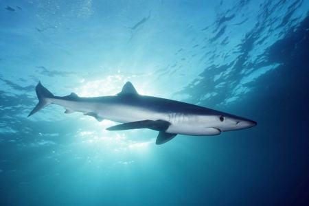 blue shark - shark, water, animal, blue, ocean