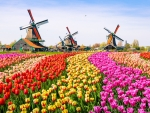 Tulips Field and windmills