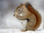 Eating Nuts In The Snow