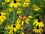 Butterfly On Black Eyed Susan Flowers