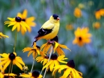 Gold Finch And Black Eyed Susan