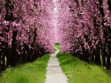 Cherry Blossom Lane - sunshine, grass, pathway, cherry blossom trees, nature