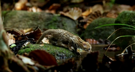 World Smallest Wild Cat