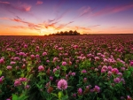 Field of red clover at sunset