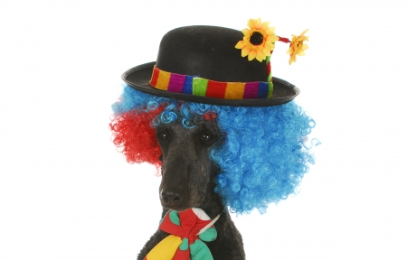 :-) - tie, black, caine, funny, hat, dog, colorful, poodle, clown, cute