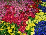 A bed of primula