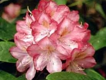 Abbey Grange Rhododendron