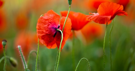 Beautiful Flowers - Red, Flowers, Nature, Poppies
