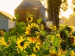 Farm Sunflowers