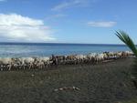 cows @ sea