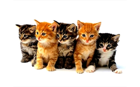 Some Kittens for Christmas - beauty, baby, cool, chat, hot, animal, animals, adorable, white, sweetheart, picture, pretty, kitten, beautiful, cat, amazing, gato, cat face, face, pets, calico, whiskers, lovely, love, sweet, christmas, 5, black, kitty, awesome, pet, colored, five, cute, other, grey, merry christmas, dreamy, cats, redhead, collage, georgous, foxy, beautiful eyes, kittens, fantasy, chats, nice, eyes, light, brown, photography