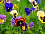 Pansies close up