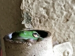 FROG IN PIPE