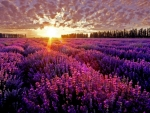 Sunset In Lavender