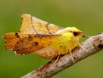 Canary Shouldered Thorn Moth