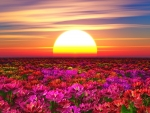 Sunset over flowers field