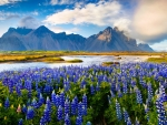 The flowers of Iceland