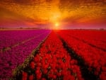 Field of Holland tulips at sunset