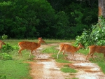 Deer Crossing in Yala National Park