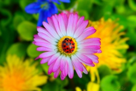 Ladybug Love - colorful, ladybug, bokeh, beauty, flowers, bright, nature, sunshine