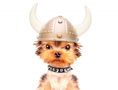 :D - yorkshire terrier, caine, funny, face, viking, horns, puppy, dog, helmet