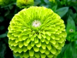 Zinnia Dahlia Lime Green Flowers