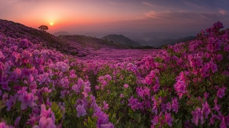 Field of Beauty - mountains, flowers, sky, pink, field, rocks, sun, clouds, tree, nature, hill
