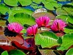 Water Lillie's