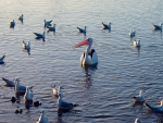 Pelican and Gulls