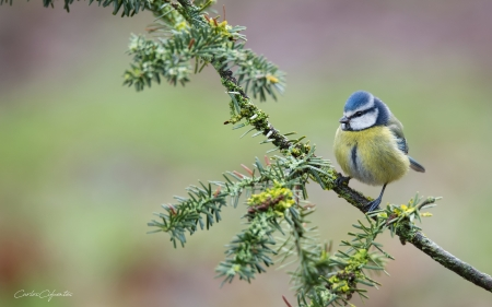 Blue Tit - branch, bird, animal, tit