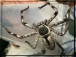 HUNTSMEN SPIDER