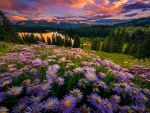 Purple asters at sunset