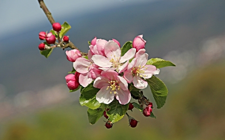 Apple Blossom - flowering tree, apple blossom, spring, pink, macro