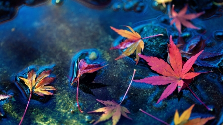 Maple leaves in water stream - red, stream, photography, leaves, water, maple, nature, blue, pretty