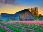 Old Barn in a Tulip Field