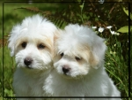 CUTE WHITE PUPPIES