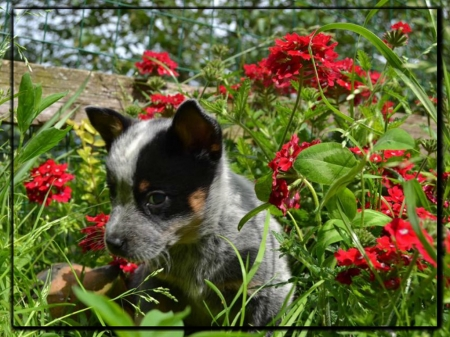 Cute Blue Heeler Puppy Dogs Animals Background