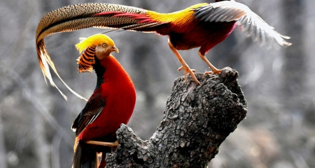 Gold Pheasants - colors, birds, nature, fethers