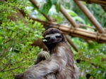 Rare Pygmy Three Toed Sloth